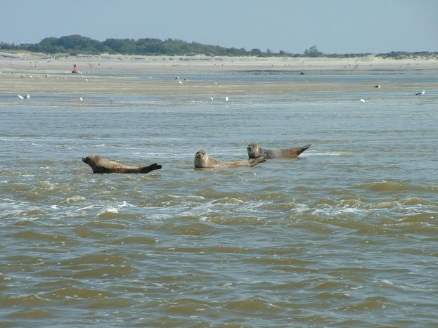 Les phoques au Hourdel - Baie de Somme -Gite Ecumes des mers